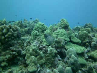Crown of Thorns (CoTs) in the heart of the coral triangle